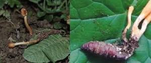 Đông trùng hạ thảo là gì? Công dụng của  Đông trùng hạ thảo ?