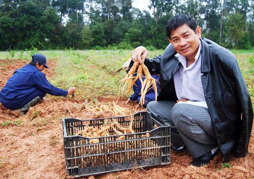 trồng nhân sâm ở Việt Nam