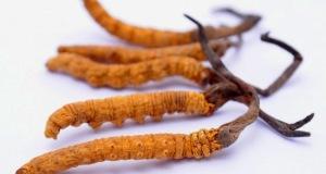 Đông trùng hạ thảo chữa bệnh gì? Cách dùng như thế nào?