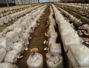 Cách trồng nấm linh chi trên bã mía cho năng suất cực cao