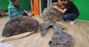 Những cây nấm linh chi khổng lồ được ghi vào lịch sử ở Việt Nam