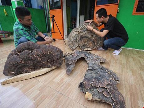 cây nấm linh chi cổ khổng lồ ở quảng nam