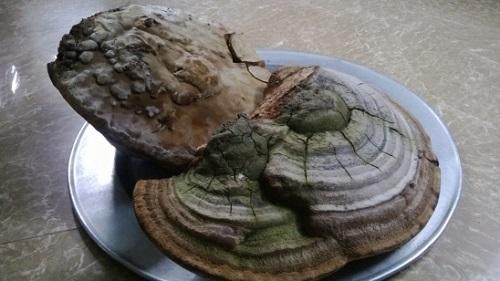 nấm linh chi khổng lồ ở hải dương
