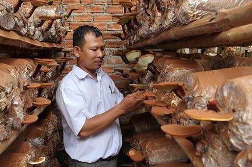 Thu hoạch nấm của kỹ thuật trồng nấm linh chi trên bã mía